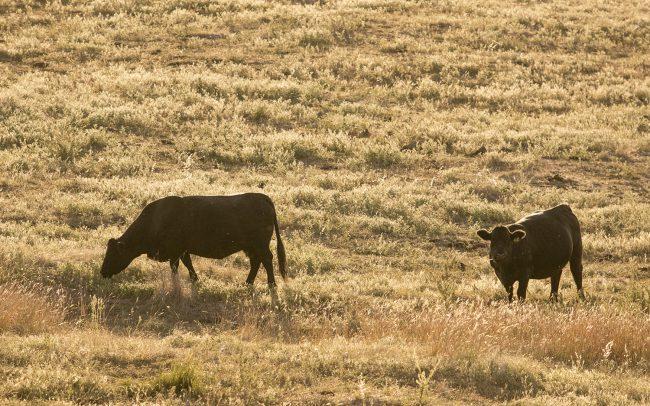 Cattle at Mt Bellevue Lodge